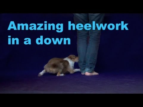 Amazing heelwork in a down- clicker dog training tricks