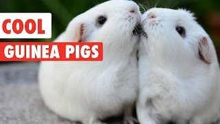 From guinea pigs having a tea party, baby guinea pigs eating carrots, to guinea pigs fighting over a blade of grass, these are just ...
