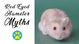 Red Eyed Hamsters | Myths & Misconceptions Debunked! by ErinsAnimals