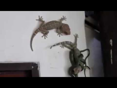 Video friendship of two lizard download in MP3, 3GP, MP4, WEBM, AVI, FLV January 2017