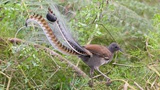Download Video Burung Pintar Tiru Suara Senapan MP3 3GP MP4