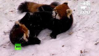 Красные панды и гепарды играются в снегу
