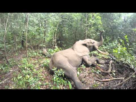 What an Elephant does when it wakes up from being tranquilized...