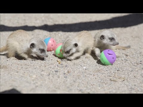 Baby Meerkats playing with balls