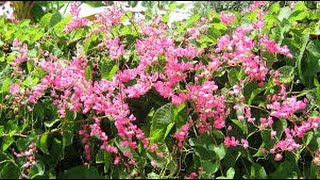 How to Grow Rangoon Creeper Vine and  Summer Season Plant Flowering Vines from cutting in home gardening in hndi.