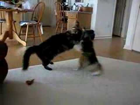 Maine Coon Archives - ...