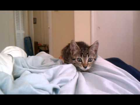 kitten - This is Evie, our 10 week old rescue kitten! If I am reading in bed or playing with my cell phone, she has taken to this habit of attacking whatever I'm hold...