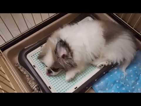 ペキニーズ 動画   犬犬動画の一...