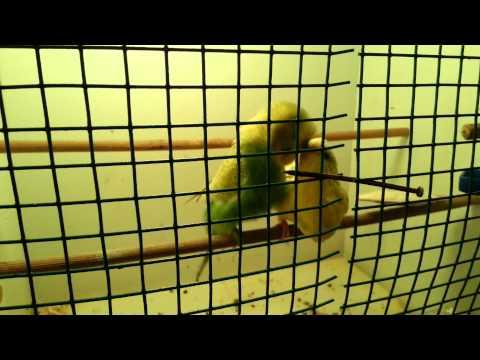 Muhabbet Kuşları Çiftleşmesi
