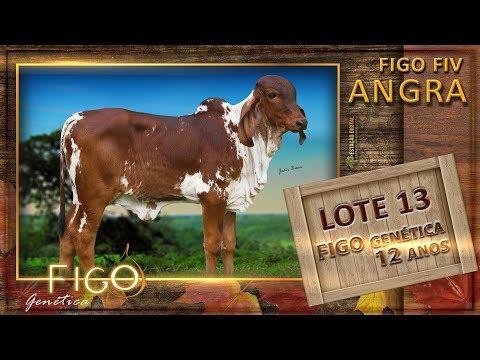 LOTE 13 - FIGO FIV ANGRA