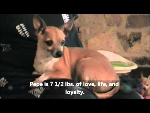 Pepe The Precious Chihuahua/Terrier Boy Love To Live Animal Rescue June 8,2012