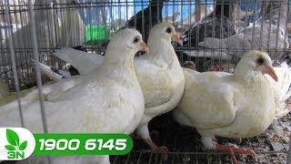 Chăn nuôi bồ câu | Điều trị chim bồ câu bị nhiễm vi sinh vật đường tiêu hóa