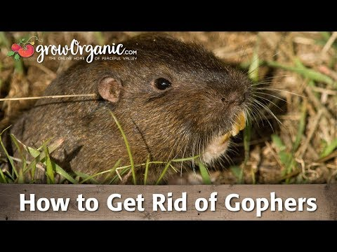 Getting Rid of Gophers