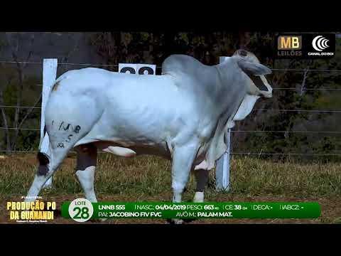3º LEILÃO PRODUÇÃO NELORE GUANANDI