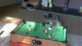 Funny cute cat playing pool!!