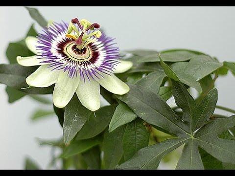 Знакомимся, растение пассифлора