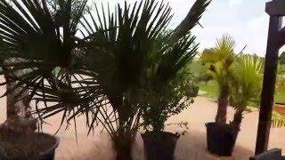 Palmendünger für alle Palmen Palmendünger sorgt für grüne und kräftige Palmen Video