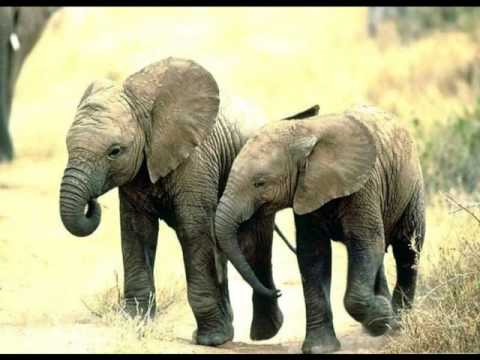 Elefante Africano - African elephant and the human nature