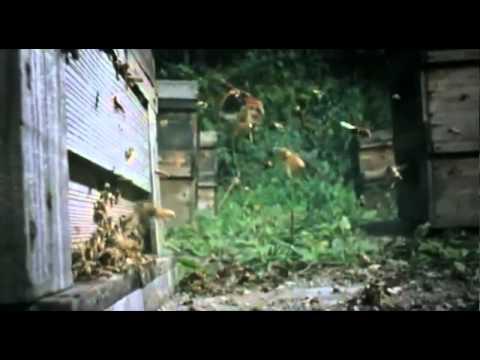 Шершни напали на пчелиный улей.