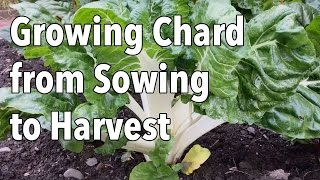It's easy to be charmed by chard - it looks stunning, is very easy to grow and is one of the most versatile vegetables in kitchen.