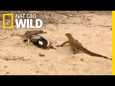 Angry Bird Vs. Lizard, Rare fight must watch