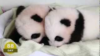 Video The first 100 Days of Mei Lun and Mei Huan MP3, 3GP, MP4, WEBM, AVI, FLV Agustus 2017
