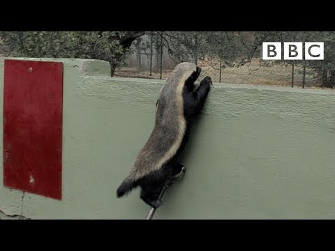 Video: Amazing Video: Genius Honey Badger Uses Eight Different Tools to Escape