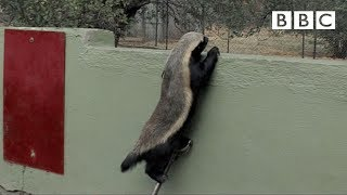Honey Badger Houdini - Astonishing Smart Honey Badger Keeps Escaping From His Captivity