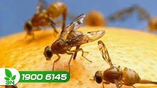 Trồng trọt | Diệt trừ ruồi vàng đục trái bưởi