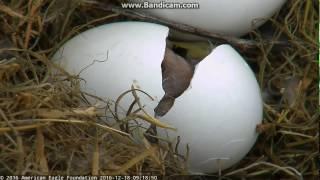 12/18/2016 First eaglet hatches, Northeast florida eagle cam