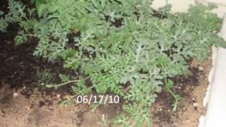 gardenig  -watermelon plant timelapse