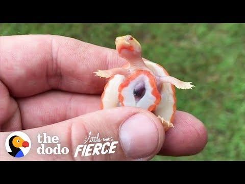 Το χελωνάκι που έχει την καρδιά έξω από το σώμα... υιοθετήθηκε!