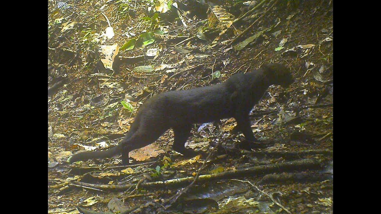 Jaguarundi on camera trap in Ocho Verde