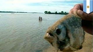 Parana Argentina  city photo : Piranha attack: 70+ injured by piranhas in Argentina's Parana river