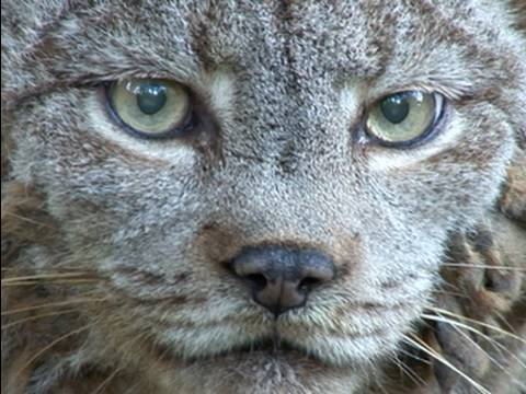 LYNX - Dances With Wolves is the resident Canadian Lynx at Big Cat Rescue. Listen to Master Keeper Barbara Frank talk about Dances and Canadian Lynx in the wild. Im...