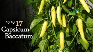 My favorite 17 kinds of Capsicum Baccatum