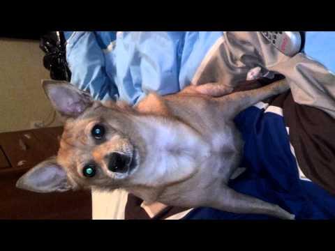 Opera Chihuahua jg Wentworth funny