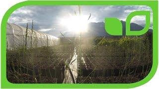 WunderVideo: So schnell wächst der Spargel!