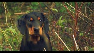 """Pirmosios Lietuvių skalikų šuniukų pamokos, pagal veislyno """"Gončius"""" metodiką. Šuniukai pradedami ruošti medžioklėms."""