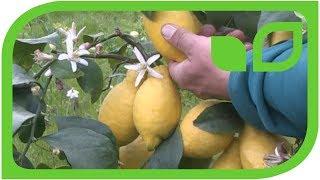 Vier-Jahreszeiten-Zitronen