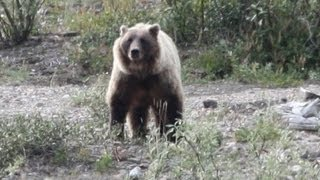 Video Hiker Taking Photos is Killed by Grizzly Bear. MP3, 3GP, MP4, WEBM, AVI, FLV Agustus 2017