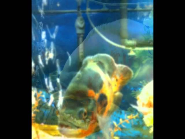Feeding Oscars Mice And Crawfish   Mp3DownloadOnline.com