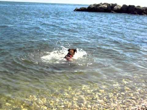 etra, bravissima boxer nuotatrice al mare.