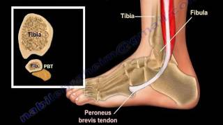 Anatomy Of The Foot&Ankle - Everything You Need To Know - Dr. Nabil Ebraheim