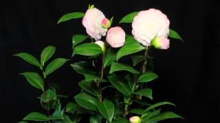 Camellia Japonica Time laps