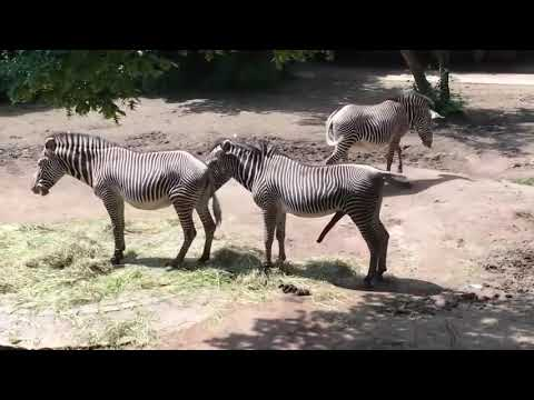 Zebra Mating compilation   Zebra breeding   Animals mating