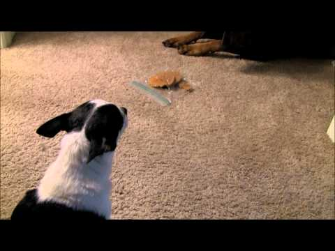 Doberman, Pit Bull and Chihuahua – A Cookie Standoff