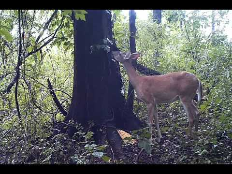 No Bieber here.... just a deer farting. If you ever wondered what a deer sounds like when it farts.