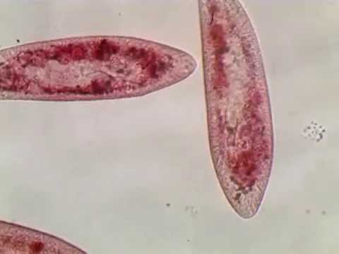 paramecium caudatum with neutral Red
