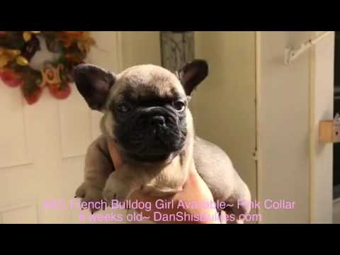 AKC French Bulldog Girl 6 weeks old